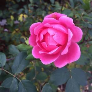 carmens-perfect-rose